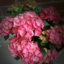 Hortensiat kukkivat upeasti Ulla Swanljungin parvekkeella